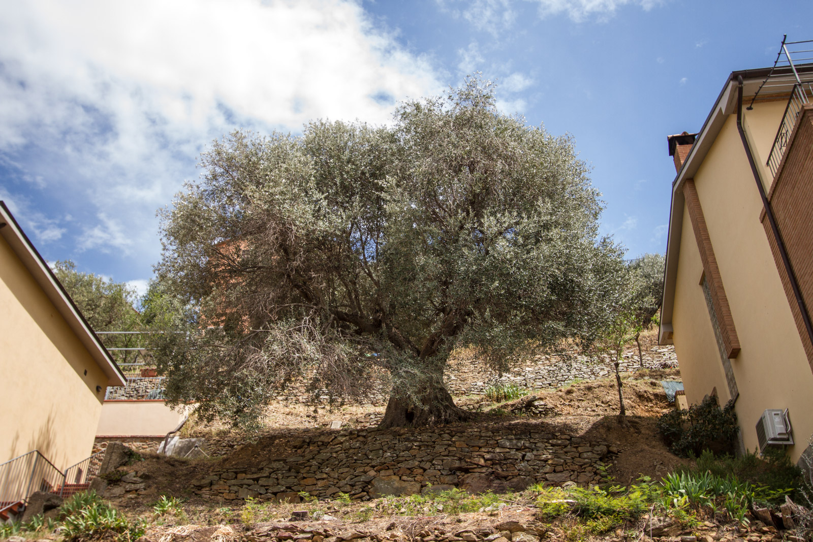 In the centre of the town is a very large old olive tree.